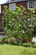 Sunflowers August 2012