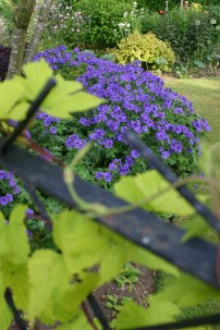 Golden hop and blue Geraniums