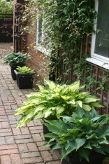 Hostas in the courtyard