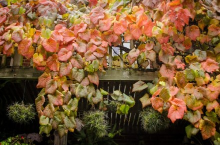 Vitis cognitiae autumn colour at The Exotic Garden, Norwich
