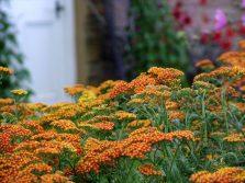 A. 'Vista' via Mooseys Country Garden