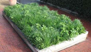 A mixed Green Manure ready for digging in