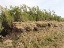 Tamarisk growing behind a cornish hedge