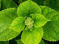Hydrangea leaves and bud via alvesgaspar