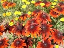 R. hirta 'Autumn Colours' - often grown as an annual