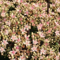 A-Z of Perennials: S is for Sedum
