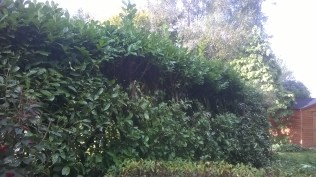 The laurel hedge, side- trimmed below head height in preparation for a more major cut.