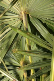 Trachycarpus_fortunei_IMG_7531