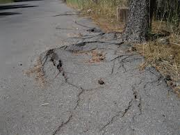 The damage tree roots can cause... to tarmac surfaces...