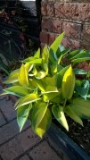 Hostas putting on new, beautifully fresh foliage