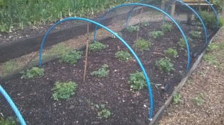 ...and the strawbs were got too, so its netting time.