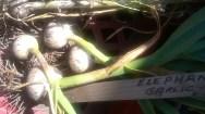 ..elephant Garlic- always impressive....