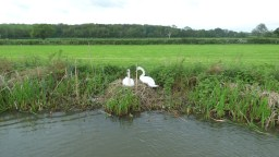 Swans on the Nest