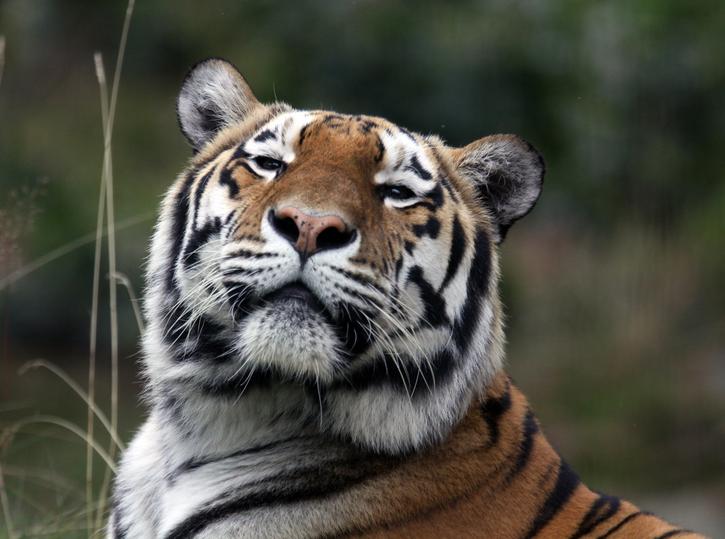 panthera tigris tiger