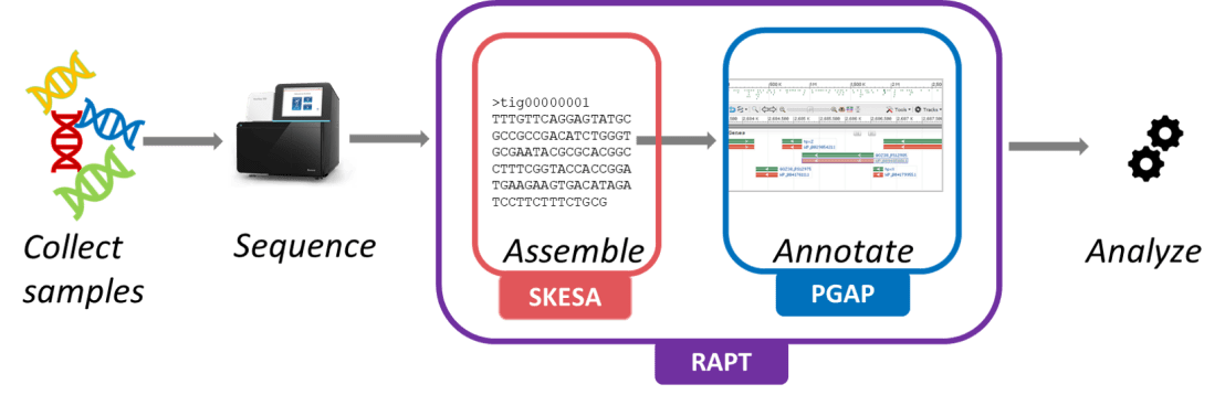 The RAPT pipeline. From left to right, the steps are: collect samples, sequence, assemble with SKESA, annotate with PGAP, and analyze.