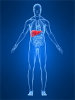 Illustration of internal organs with the liver highlighted in red.