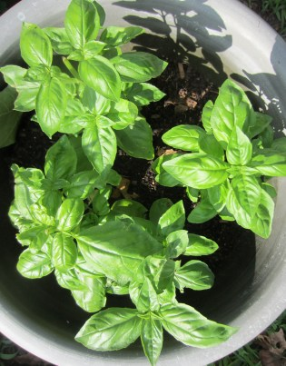 Potted basil - NC Garden Gals