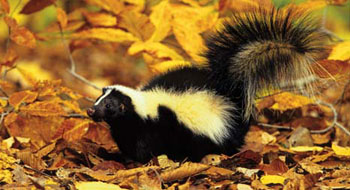 Fall Hunting Wallpaper Striped Skunk From Nc Wins Ncpedia