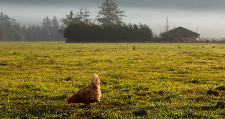 A hen roaming free in Crescent City, Calif. The estimated time of chickens' domestication by humans is 7,000 to 10,000 years ago. Credit Ruth Fremson/The New York Times