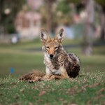 Urban Coyote Photo credit: Dru Bloomfield (CC BY 2.0)