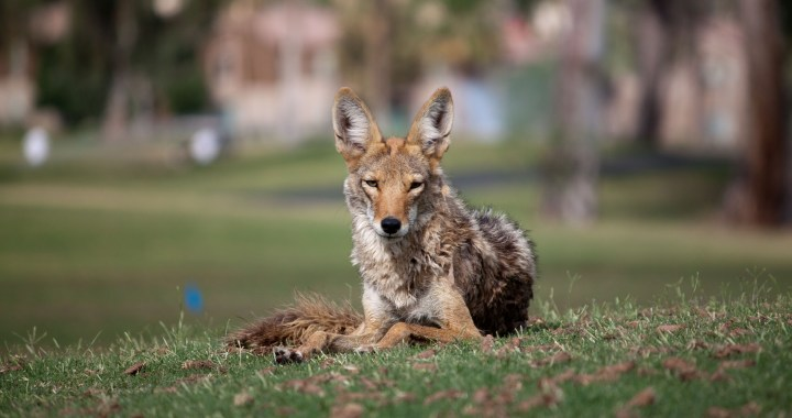 Urban Coyote Photo credit: Dru Bloomfield (CC BY 2.0)