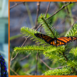 New Engaging Mathematics Teaching Manual Explores the Calculus of Milkweed and Monarchs