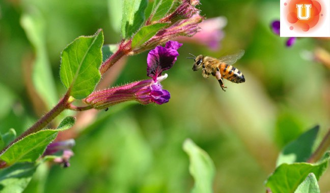 Do Now U! Should We Use Drones to Pollinate Crops?