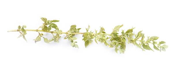 15 Plantas Medicinais para ter em casa