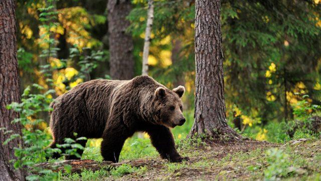 O último urso pardo foi morto em 1843 em Portugal