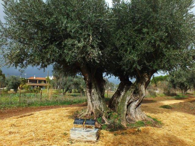 3 árvores portuguesas que são das mais antigas do mundo