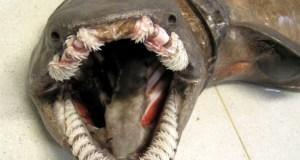 Tubarão 'pré-histórico' raro capturado vivo em Portugal