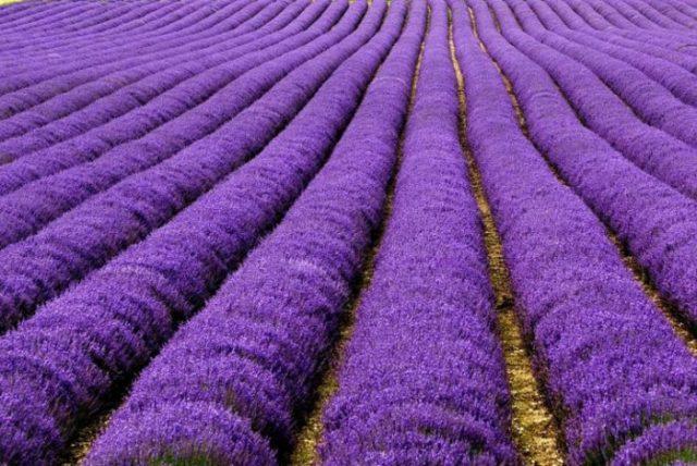 Campos de lavanda na França