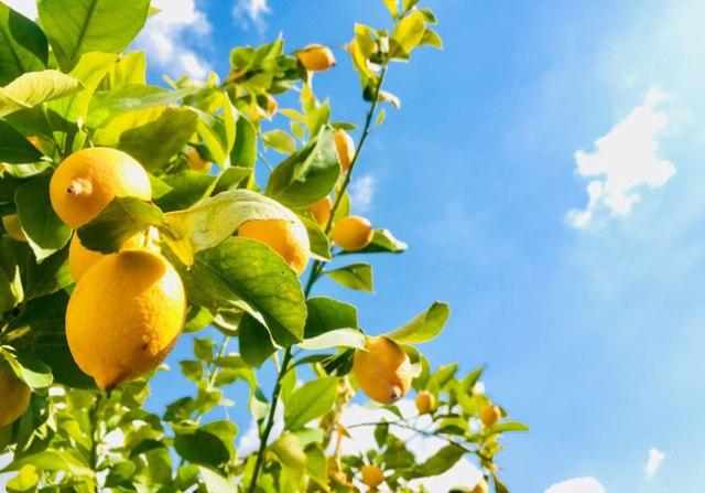 O limão é um fruto