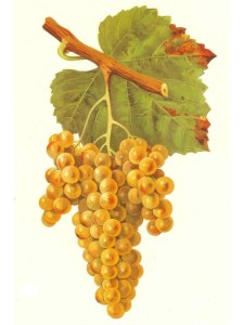 Petit Manseng grapes from Wikipedia.