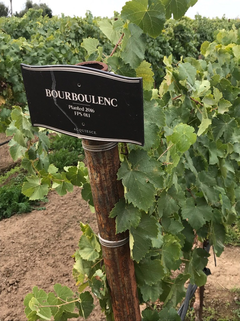 Bourboulenc Vines at Acquiesce Winery