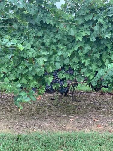 Cabernet Sauvignon at Hanover Park Vineyard - Yadkinville, NC