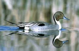 Northern Pintail Photo Credit: USFWS
