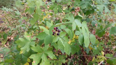 Himalayan Blackberry (Invasive)