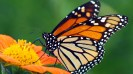 ROYALTY FREE  Shutterstock  Stock Photo: Monarch Butterfly on a Mexican Sunflower Image ID: 57609622   Release  information: N/A   Copyright: James Laurie   Keywords: appealing, attractive, beautiful, beauty,black, bottom, butterfly, calm, color,colorful, elegant, feeding, floral, flower,garden, giant, good, gorgeous, insect,looking, lovely, magnificent, mexican,migratory, monarch, natural, nature, nice,orange, pattern, petals, pretty, queen,serenity, silence, spring, striking,stunning, summer, sunflower, sweet,tranquility, underside, wing, yel
