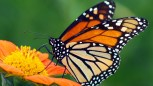 ROYALTY FREE  Shutterstock  Stock Photo: Monarch Butterfly on a Mexican Sunflower Image ID:57609622  Release information:N/A  Copyright:James Laurie  Keywords: appealing,attractive,beautiful,beauty,black,bottom,butterfly,calm,color,colorful,elegant,feeding,floral,flower,garden,giant,good,gorgeous,insect,looking,lovely,magnificent,mexican,migratory,monarch,natural,nature,nice,orange,pattern,petals,pretty,queen,serenity,silence,spring,striking,stunning,summer,sunflower,sweet,tranquility,underside,wing,yel