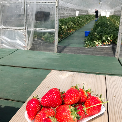 Eat as much strawberries as you like at Yoshimura Strawberry Park