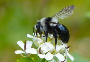 Ashy Mining Bee