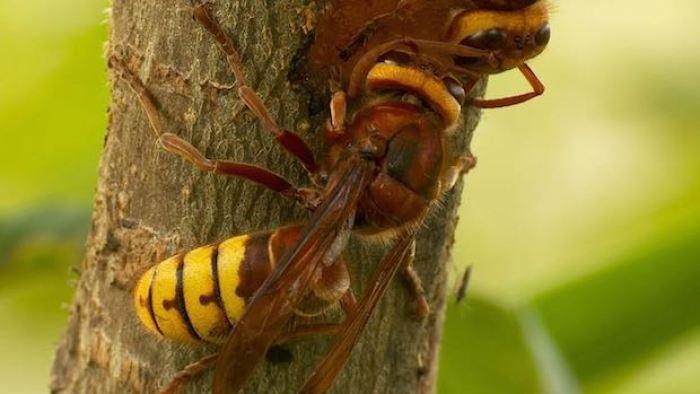 Hornet on ash tree
