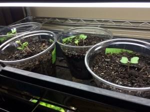 Cabbage Starts