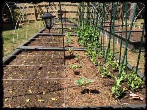 Sugar Snap Peas, Collards and Lettuce