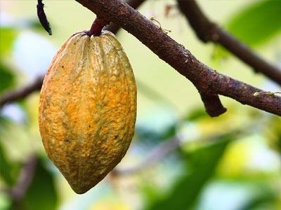 Beurre de cacao: Theobroma beurre de cacao de graines de cacao