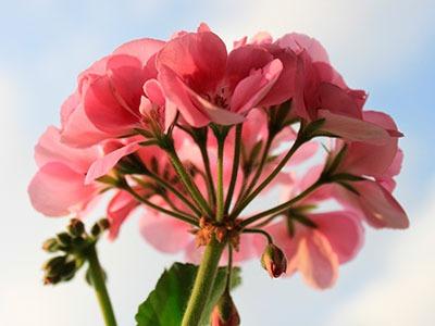 Huile essentielle de Géranium d'Egypte: Pelargoium Graveolens Huile Essentielle