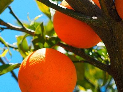 Aceite esencial de Petitgrain: Citrus aurantium leaf extract Oil