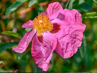 Huile végétale d'églantier: Huile de fruit Rosa Canina