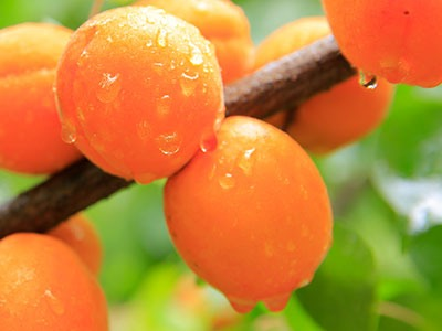 Aceite vegetal de Albaricoque: Prunus Armeniaca Seed Oil Refined